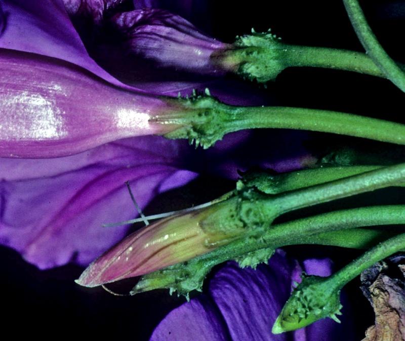 Ipomoea pedicellaris; calyx detail; Photo credit: Dan Austin