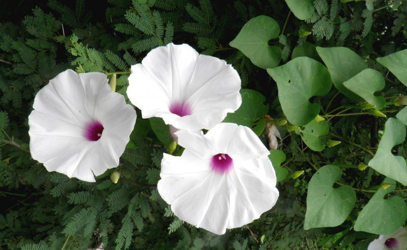 Ipomoea pedicellaris; purple and white flowers occurring on the same plant; T. Van Devender