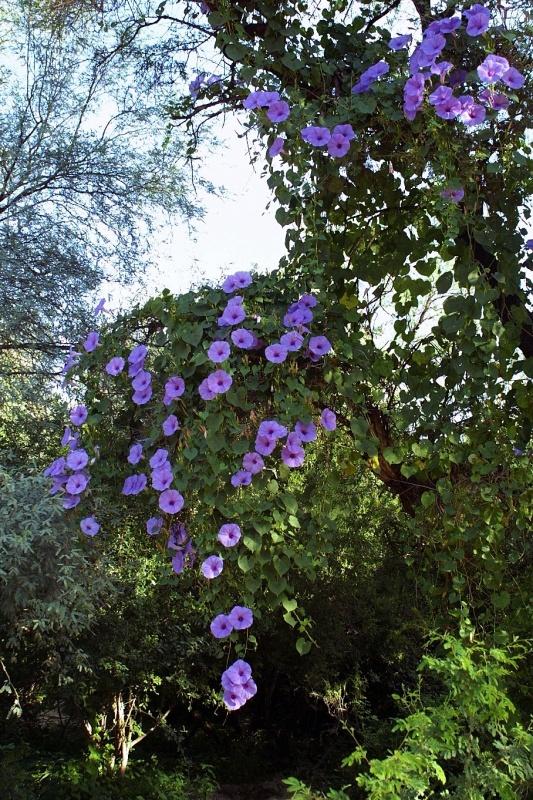 Ipomoea pedicellaris; Photo credit: Jesús Sánchez-Escalante (2)