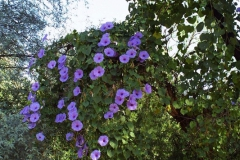 Ipomoea pedicellaris; Photo credit: Jesús Sánchez-Escalante (2)