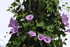 Ipomoea pedicellaris; Photo credit: Jesús Sánchez-Escalante (1)