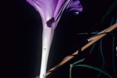 Ipomoea tenuiloba; Photo credit: Dan Austin