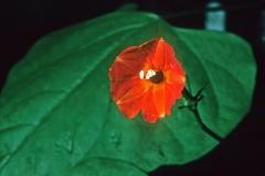 Ipomoea hederifolia; Photo credit: Dan Austin (1)