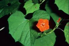Ipomoea hederifolia; Photo credit: Dan Austin 2)