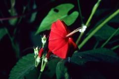 Ipomoea hederifolia; Photo credit: Dan Austin (3)
