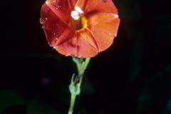 Ipomoea hederifolia; Photo credit: Dan Austin (4)