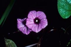 Ipomoea triloba; Photo credit: Dan Austin