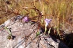 Ipomoea x leucantha; Photo credit: Sue Carnahan