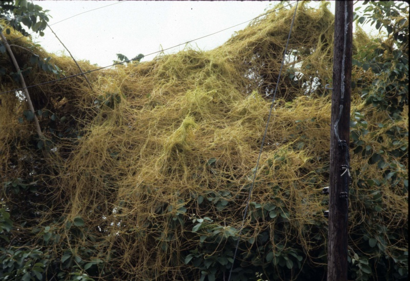 Cuscuta americana; Photo credit: Dan Austin