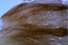 Cuscuta montana, corolla with scales