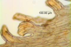 Cuscuta montana, scales' fimbriae