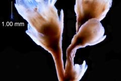 Cuscuta taimensis, inflorescence