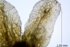 Cuscuta taimensis, calyx lobe details