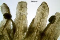 Cuscuta taimensis, corolla lobe details