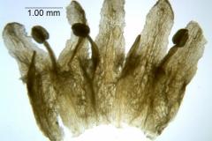 Cuscuta taimensis, corolla dissected