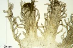 Cuscuta taimensis, scales