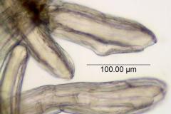 Cuscuta taimensis, scale fimbriae