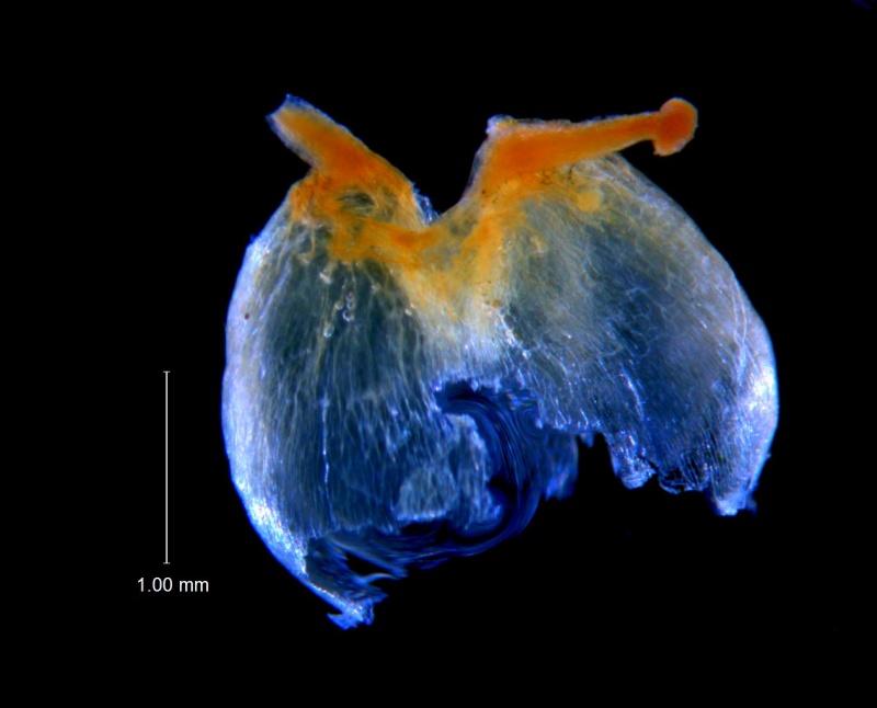 Cuscuta incurvata; capsule; note pericarp irregularly ruptured at the base