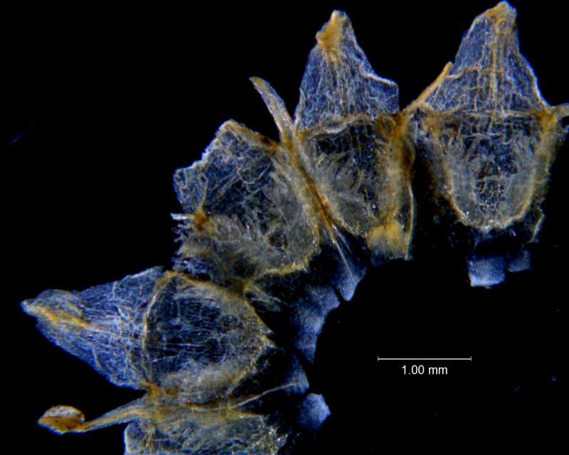 Cuscuta incurvata; corolla dissected