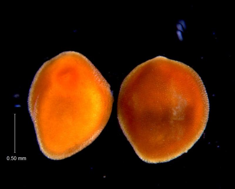 Cuscuta incurvata; seeds
