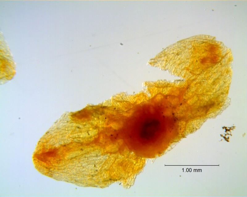 Cuscuta incurvata; calyx dissected (four lobes missing)