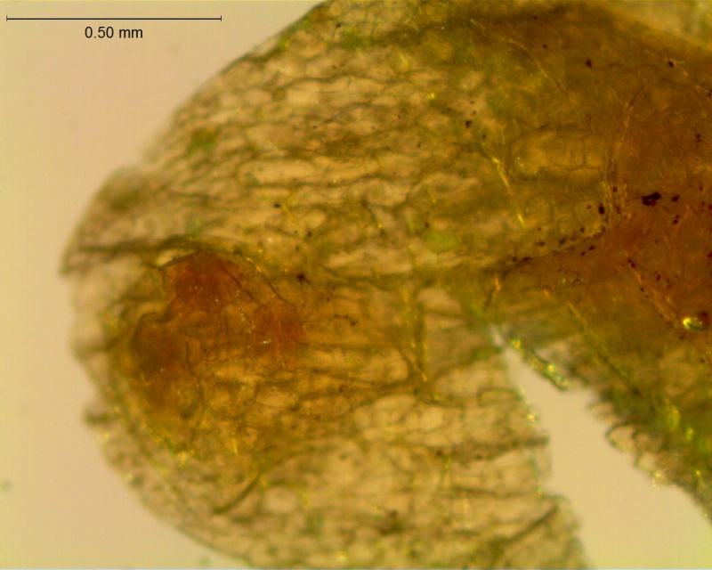 Cuscuta incurvata; stomatiferous protuberance on calyx lobe