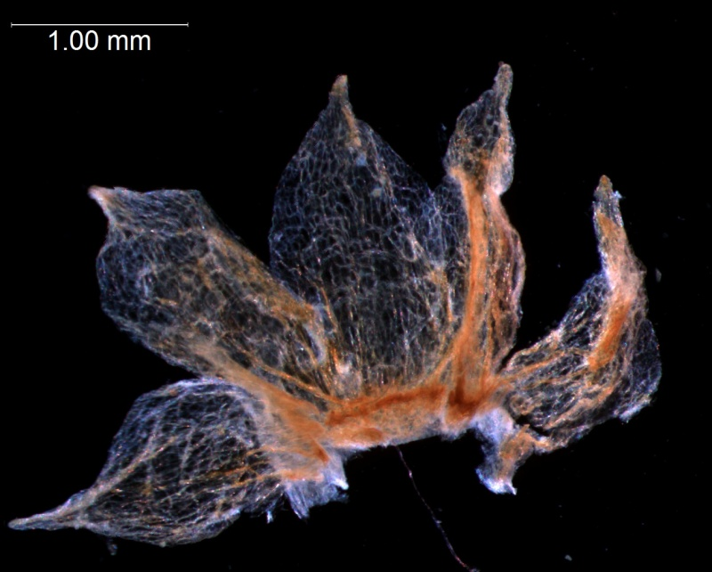 dissected calyx
