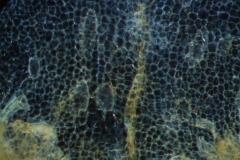 surface of corolla lobe;  laticifers