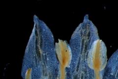 stamens & corolla lobes