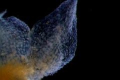 calyx lobe detail
