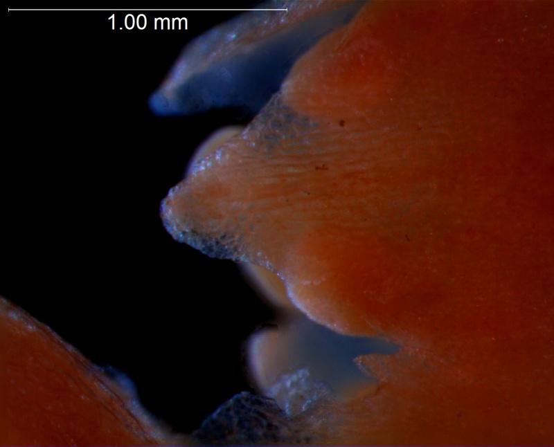 corolla lobe, detail