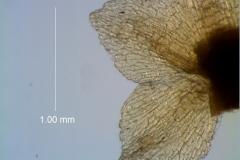 calyx lobes, detail