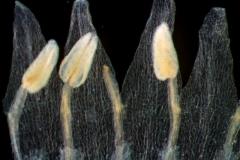 corolla lobes & stamens