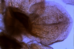 calyx lobe, detail
