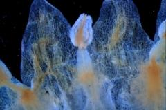 corolla lobes & stamens detail
