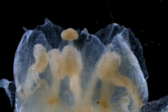 corolla lobes, detail