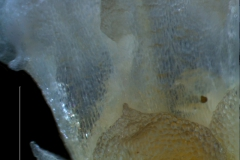 calyx-corolla lobes detail