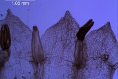 corolla lobes (ventral)