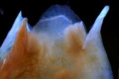corolla lobes detail
