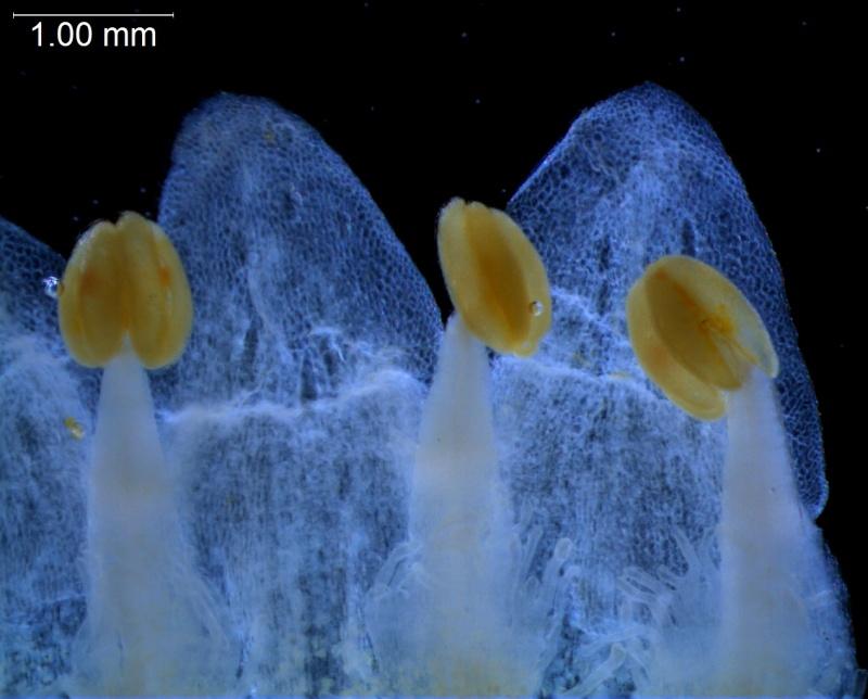 Cuscuta cotijana -  corolla lobes & anthers