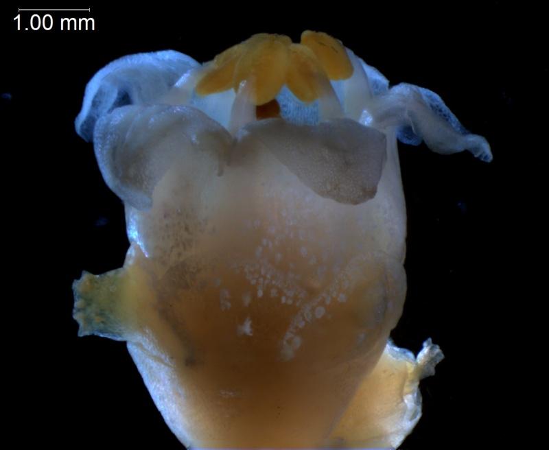 Cuscuta cotijana - flower