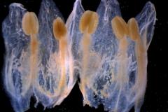 Cuscuta cotijana - corolla, dissected