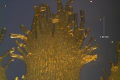 Cuscuta cotijana - infrastaminal scales detail