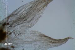 calyx lobes