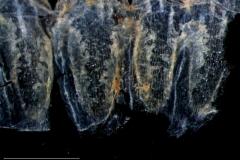 Cuscuta salina var. salina - infrastaminal scales