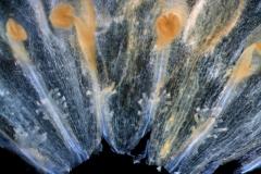 Cuscuta salina var. major - corolla, dissected