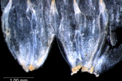Cuscuta salina var. papillata - corolla, dissected