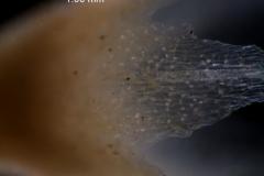 Cuscuta salina var. papillata - papillae on calyx