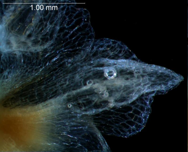 Cuscuta approximata - calyx lobe detail