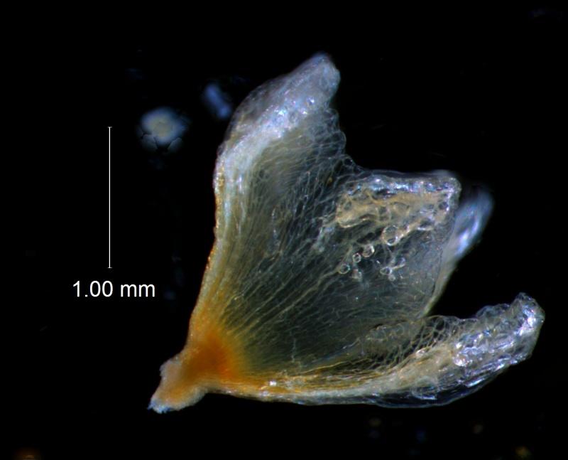 Cuscuta approximata - calyx 3D